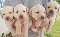 Labradores a venda