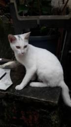 Gato branco Macho