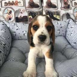 Beagle macho