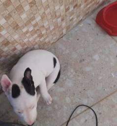 Bull Terrier - Fêmeas