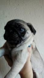 Lindos filhotes de pug 3 meses!!98331 1060