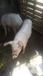 Vendo 6 porcos