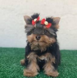 Yorkshire Terrier fêmea!! Muito pequena !!!