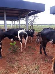 Vacas leiteiras !!!