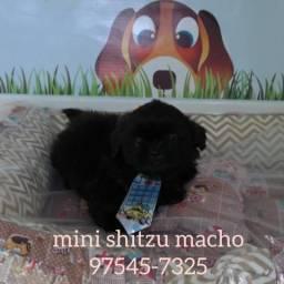 Mini shitzu filhotes, garantia de saúde