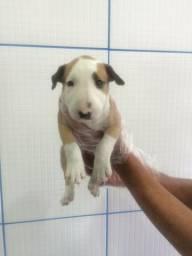 Bull Terrier Inglês à pronta entrega com pedigree, padrão CBKC