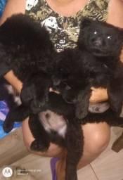 Vendo 3 filhotes de Chow chow preto
