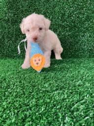 Poodle Macho! Filhote disponíveis