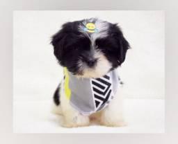 Fotos reais - filhote de shihtzu macho querido! Aqui no Namu Royal Pet shop!