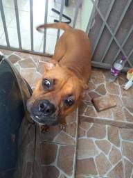 Cachorro Boxer puro 8 meses pra