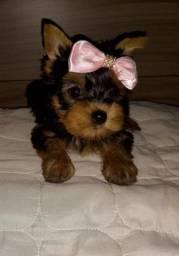Yorkshire Terrier.!!!