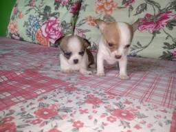 Título do anúncio: Chihuahua micro