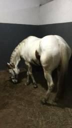 Embrião Paint Horse