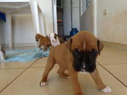 Cachorro Boxer (PURO)