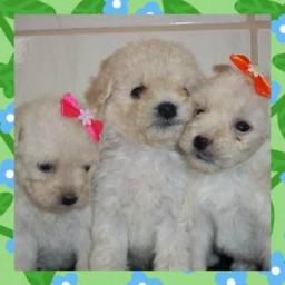 Lindos bebês de poodle micro fofissimos