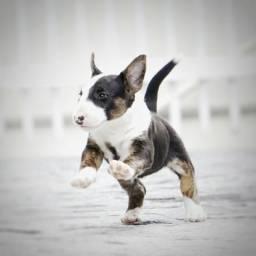 Bull Terrier MINI