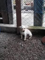 Estou vendendo um cachorro poodle