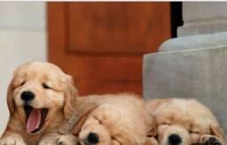 Golden Retriever filhotinhos que já podem ser entregues ou retirados com pedigree