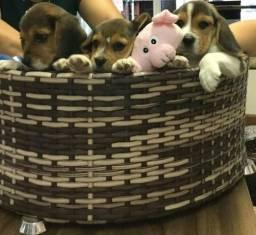 Beagle com garantia de saude e nt fiscal