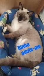 Adoção, Gato siamês 9 meses