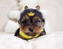 Espetacular filhote de yorkshire terrier macho disponível
