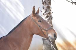 Égua mangalarga registrada vendo ou troco