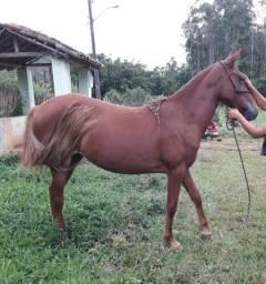 Egua c/ Potra Mangalarga Registradas .