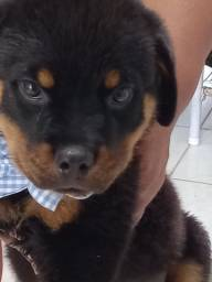 Título do anúncio: Filhotes de Rottweiler