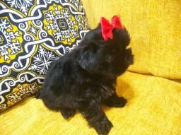 Título do anúncio: Shitzu Mini Black fêmea