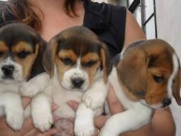Beagle 50 dias fêmea e macho (43) 99822-0047
