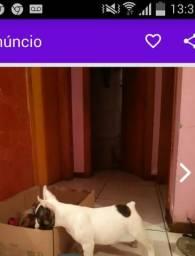 Bull dog francês macho com Pedigre pra cruzar