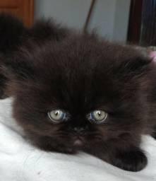 Filhote Fêmea de Gato Persa