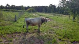 Touro jersey e vaca holandesa