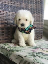 Poodle toy macho Ja vacinado e vermifugado bb com 50 dias