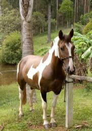 Égua crioula confirmada