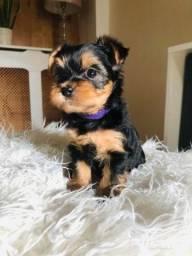 Yorkshire Terrier micro macho com garantia de vida e pureza em contrato