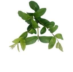 2 folhas de babosa+ 30 folhas de goiaba