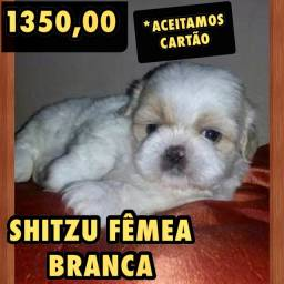 LINDA SHITZU FÊMEA BRANCA