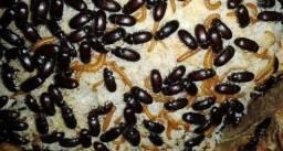 Título do anúncio: Besouros do amendoim alimento vivo Bettas