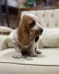 Título do anúncio: lindos basset  em 10x , Rei dog pet shop