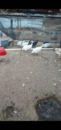Título do anúncio: Vendo galinhas d'angola