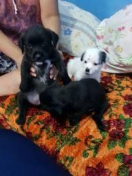 Vendo filhotes de Shih Tzu com 45 dias e já desverminados sem vacina