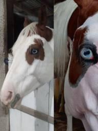 Título do anúncio: Lindo Potro Paint Horse Puro - Tovero - Animal de Beleza singular .