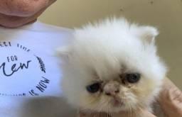 Filhote gato persa macho