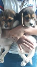 Vendo o cachorro beagle puro r$ 350 só tem duas com 60 dias