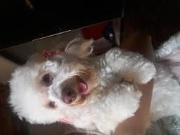 Procuro namorado para poodle toy