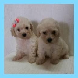 Poodle micro maravilhosos bebês