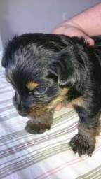 Cachorro Yorkshire Terrier,