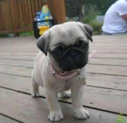Filhote vacinado Pug