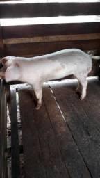 Vendo porco barrasco